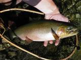 18 inch cutthroat trout
