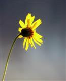 Sub-alpine Flower