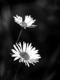 Sub-alpine Flowers